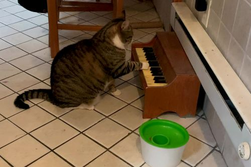 Clever cat plays piano to tell his owner when he's hungry