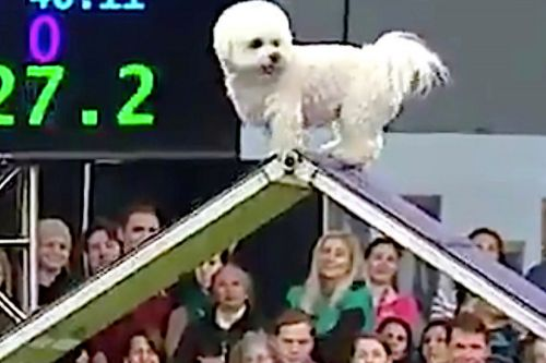 Meet Winky the bichon frise, Westminster's breakout star