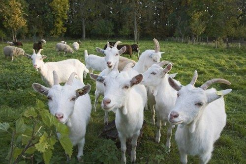 Over 100 Goats Went on the Lam in This Town and I Welcome Our